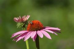 Abeja en el alcohol rosado de Cheyenne del echinacea en un parque urbano Fotografía de archivo libre de regalías