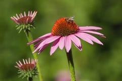 Abeja en el alcohol rosado de Cheyenne del echinacea en un parque urbano Imagenes de archivo