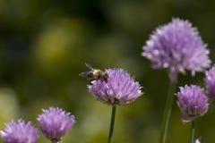 Abeja en el allium Schoenoprasum de las cebolletas en flor, en a Foto de archivo