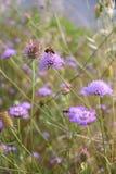 Abeja en el arvensis de Knautia de la flor Imagen de archivo libre de regalías