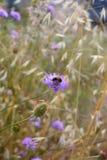 Abeja en el arvensis de Knautia de la flor Foto de archivo