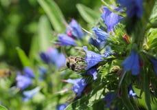 Abeja en el blueweed Fotos de archivo