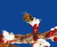 Abeja en el brote de flor Fotos de archivo libres de regalías