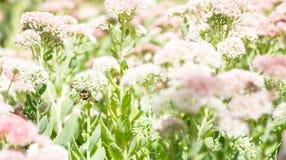 Abeja en el campo de flores rosadas Fotografía de archivo