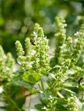 Abeja en el campo de la albahaca con la hierba de las flores para el aromatherapy Imágenes de archivo libres de regalías