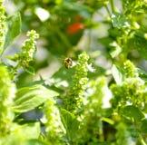 Abeja en el campo de la albahaca con la hierba de las flores para el aromatherapy Fotos de archivo
