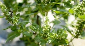 Abeja en el campo de la albahaca con la hierba de las flores para el aromatherapy Fotografía de archivo libre de regalías