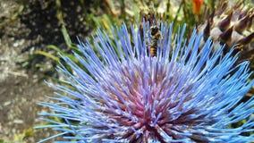 Abeja en el cardo de la alcachofa, Cynara Cardunculus que florece en luz del sol brillante Imágenes de archivo libres de regalías