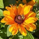 Abeja en el centro de la flor amarilla Foto de archivo libre de regalías