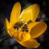 Abeja en el chrysanthus del azafrán Imagen de archivo libre de regalías