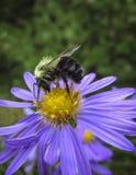 Abeja en el cierre violeta del aster para arriba Imagen de archivo libre de regalías