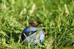 Abeja en el ciruelo que miente en la hierba Imagen de archivo libre de regalías