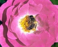 Abeja en el corazón de una rosa Fotos de archivo libres de regalías