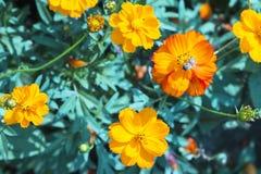 Abeja en el cosmos anaranjado Imagen de archivo