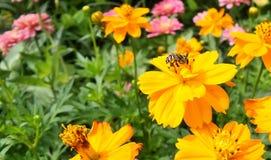 Abeja en el cosmos anaranjado en jardín de flores por la mañana Imagen de archivo libre de regalías