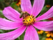 Abeja en el cosmos Bipinnatus de la flor del cosmos del jardín Imágenes de archivo libres de regalías