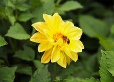 Abeja en el crisantemo Fotos de archivo