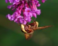Abeja en el davidii de Buddleja de la flor Imagen de archivo