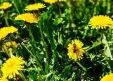 Abeja en el diente de león Apenas llovido encendido Flores de polinización de la abeja Imágenes de archivo libres de regalías