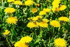 Abeja en el diente de león Apenas llovido encendido Flores de polinización de la abeja Fotos de archivo