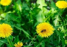 Abeja en el diente de león Apenas llovido encendido Flores de polinización de la abeja Imagen de archivo