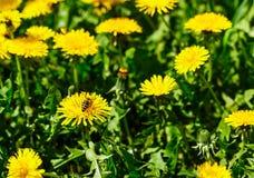 Abeja en el diente de león Apenas llovido encendido Flores de polinización de la abeja Fotografía de archivo libre de regalías