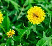 Abeja en el diente de león Apenas llovido encendido Flores de polinización de la abeja Imagenes de archivo