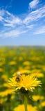 Abeja en el diente de león bajo el cielo azul Imagen de archivo libre de regalías