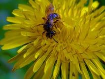 Abeja en el diente de león del prado de la flor Fotografía de archivo libre de regalías