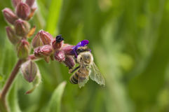 Abeja en el flor Imagenes de archivo