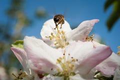 Abeja en el flor Imágenes de archivo libres de regalías