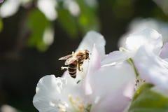 Abeja en el flor Fotografía de archivo