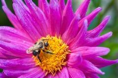 Abeja en el flor Fotografía de archivo libre de regalías