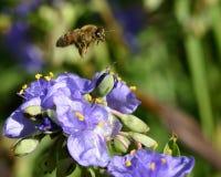 Abeja en el flor Fotos de archivo libres de regalías