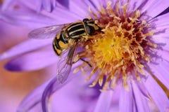 Abeja en el flor Foto de archivo libre de regalías