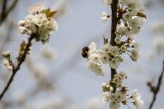 Abeja en el flor Fotos de archivo