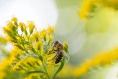 Abeja en el flor amarillo de la solidago de las varas de oro Fotos de archivo