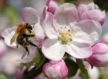 Abeja en el flor de Apple Fotos de archivo libres de regalías