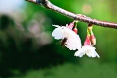 Abeja en el flor de cereza rosado Fotografía de archivo libre de regalías