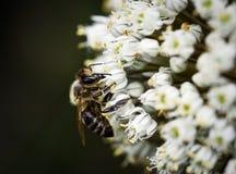 Abeja en el flor de la cebolla blanca Fotografía de archivo