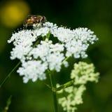 Abeja en el flor de la flor blanca Fotografía de archivo libre de regalías