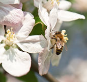 Abeja en el flor de la manzana Foto de archivo