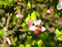 Abeja en el flor de la manzana Foto de archivo libre de regalías