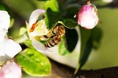 Abeja en el flor de la manzana Fotos de archivo libres de regalías