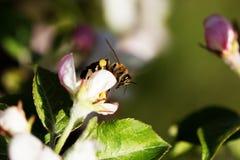Abeja en el flor de la manzana Imágenes de archivo libres de regalías