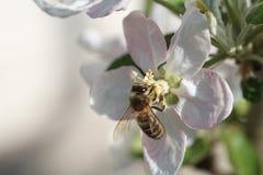 Abeja en el flor de la manzana; macro Fotografía de archivo