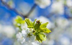 Abeja en el flor de la manzana; primer de un manzano hermoso de la primavera a Foto de archivo libre de regalías