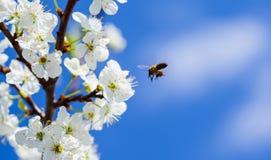 Abeja en el flor de la manzana; primer de un manzano hermoso de la primavera a Fotografía de archivo