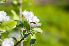 Abeja en el flor de la manzana, primer en fondo borroso Fotografía de archivo