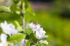 Abeja en el flor de la manzana, primer de un manzano hermoso de la primavera Imagen de archivo